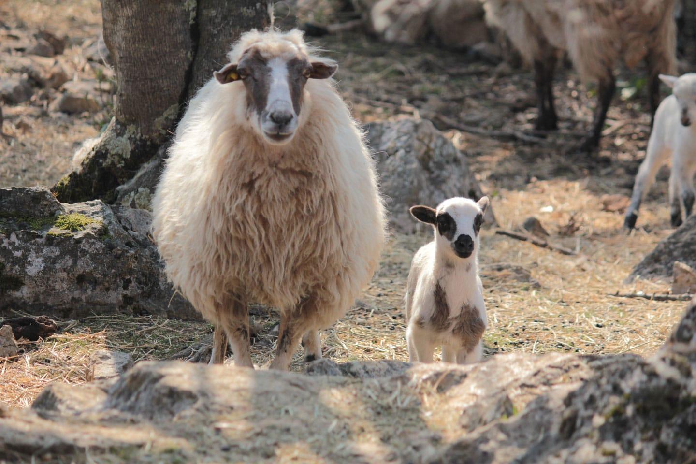 ovca-i-janje